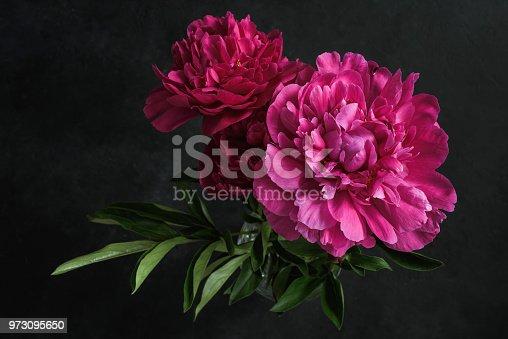 istock Beautiful pink peonies on dark background. Floral still life 973095650