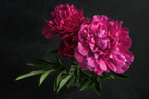 Beautiful pink peonies on dark background. Floral still life