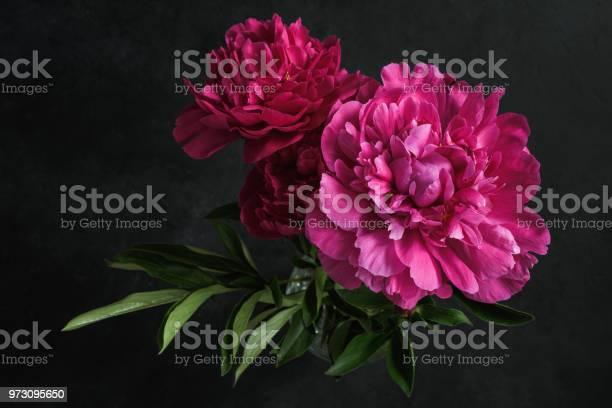 Beautiful pink peonies on dark background floral still life picture id973095650?b=1&k=6&m=973095650&s=612x612&h=lzvx69xnsueyn4vdzpdem4ck 6cxjkygky6lnpocsw0=