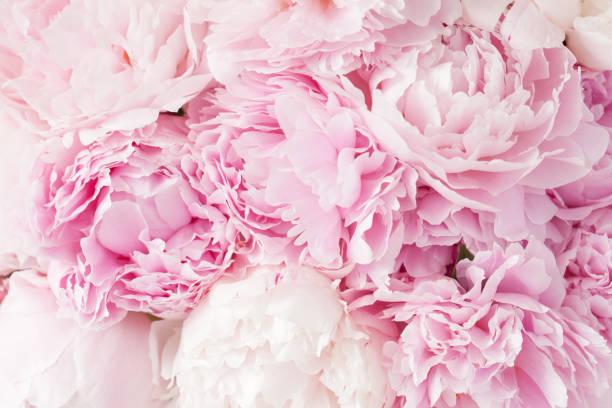schöne rosa pfingstrose blumen hintergrund - pfingstrosen pflege stock-fotos und bilder