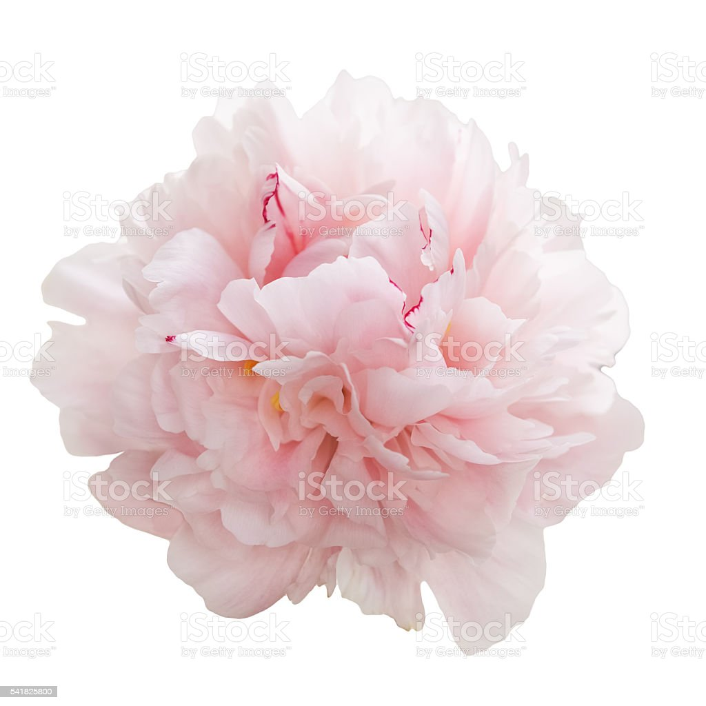 Beautiful Pink Peony Flower Isolated On White Stock Fotografie Und