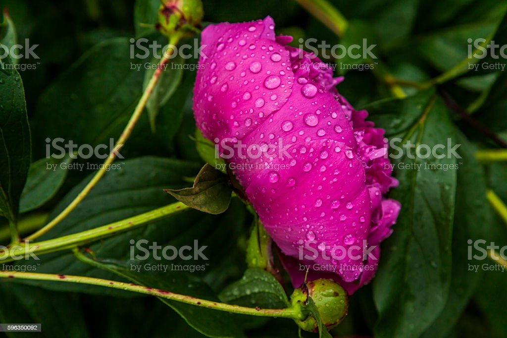 Beautiful pink peony in drops of morning dew. Lizenzfreies stock-foto