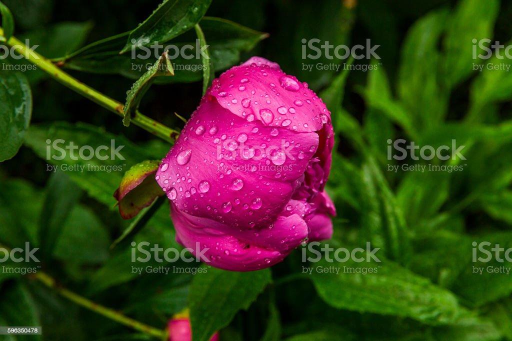 Beautiful pink peony in drops of morning dew. Lizenzfreies stock-foto