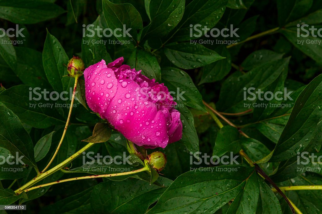 Beautiful pink peony in drops of morning dew. royalty-free stock photo