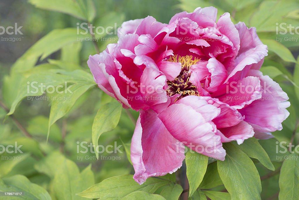 Beautiful pink peony royalty-free stock photo