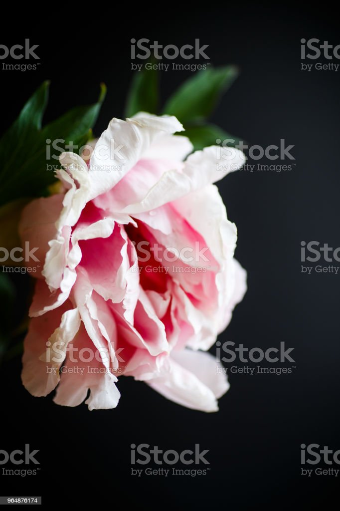 beautiful pink peony royalty-free stock photo