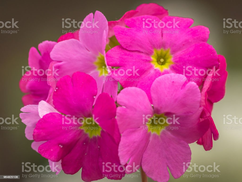 Beautiful pink Perennial primrose or primula or primula polyanthus flowers in the spring garden. royalty-free stock photo