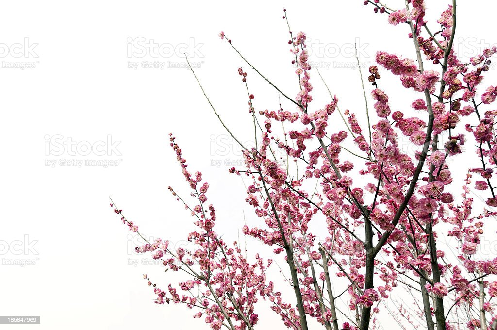 beautiful pink plum flowers in spring stock photo