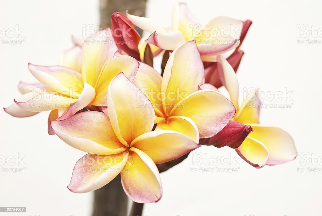 Beautiful pink plumeria royalty-free stock photo