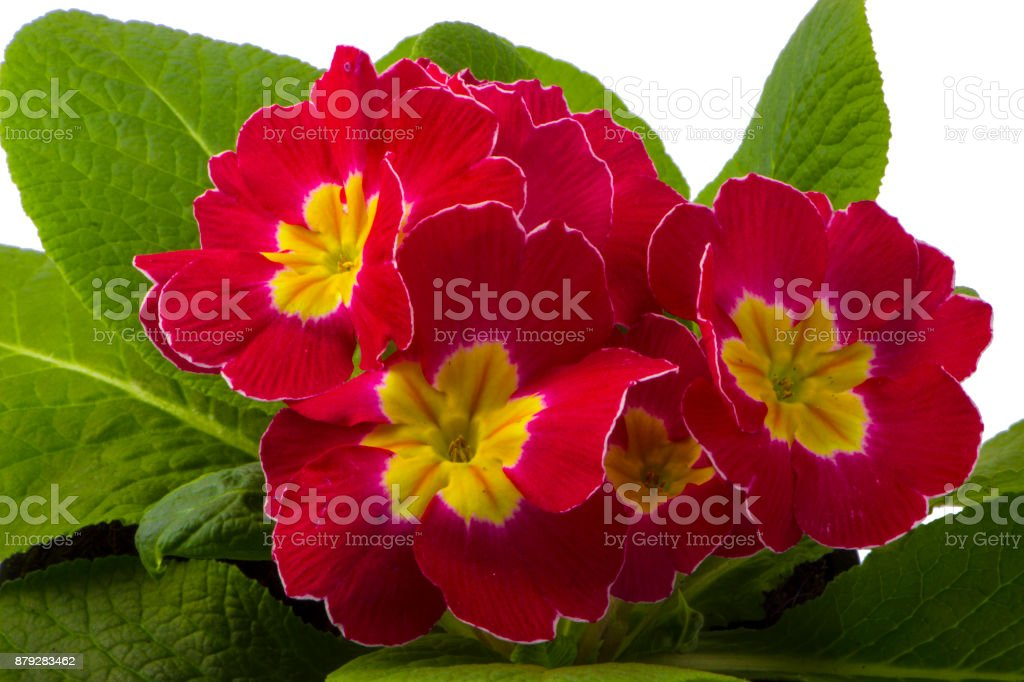 Beautiful pink primula in pail, isolated on white stock photo