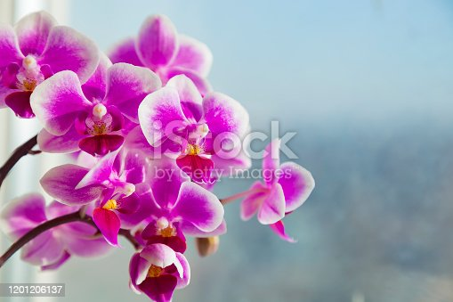 Beautiful pink purple white Phalaenopsis or Moth dendrobium Orchid flower in winter in home window tropical garden. Floral nature background. Selective focus.