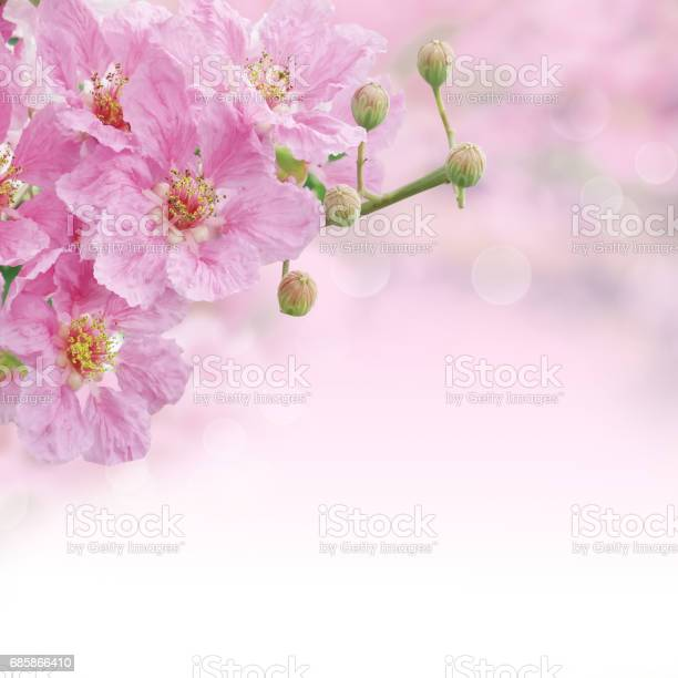 Beautiful pink queens flower soft background picture id685866410?b=1&k=6&m=685866410&s=612x612&h=qyrj2usrvrk66phb0xfxifxf6lmhqdwd29dz3ehopz4=