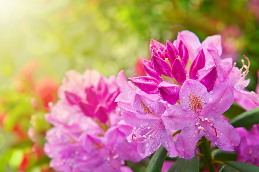 Beautiful pink Rhododendron