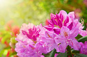 Closeup photo of a beautiful pink Pink Rhododendron.