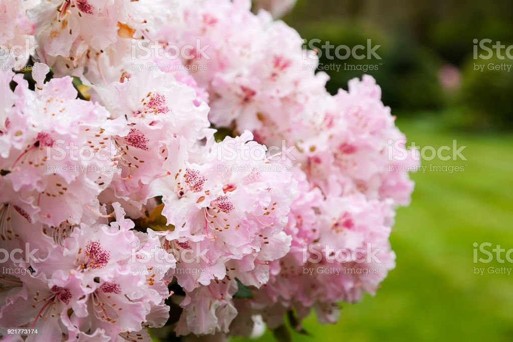 Schöne Rosa Rhododendron – Foto