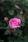 Close-up of a rose in spring, rose bloom, purple, pink, white, green