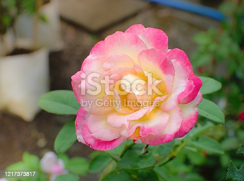 Beautiful pink rose at garden in morning sunlight. Close up image.