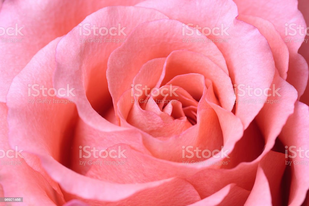 beautiful pink rose closeup royalty-free stock photo