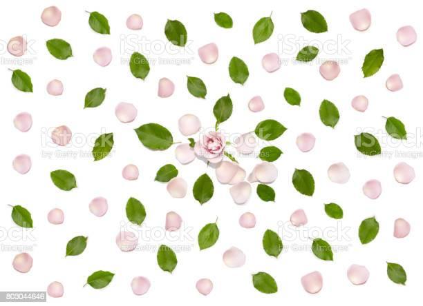 Beautiful pink rose flower petals leaves on white picture id803044646?b=1&k=6&m=803044646&s=612x612&h=lnmmmrriapyyq3hz95pjlhhwtif4kopoyqbdee s6ta=