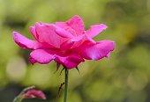 istock Beautiful pink rose flower 1128812562