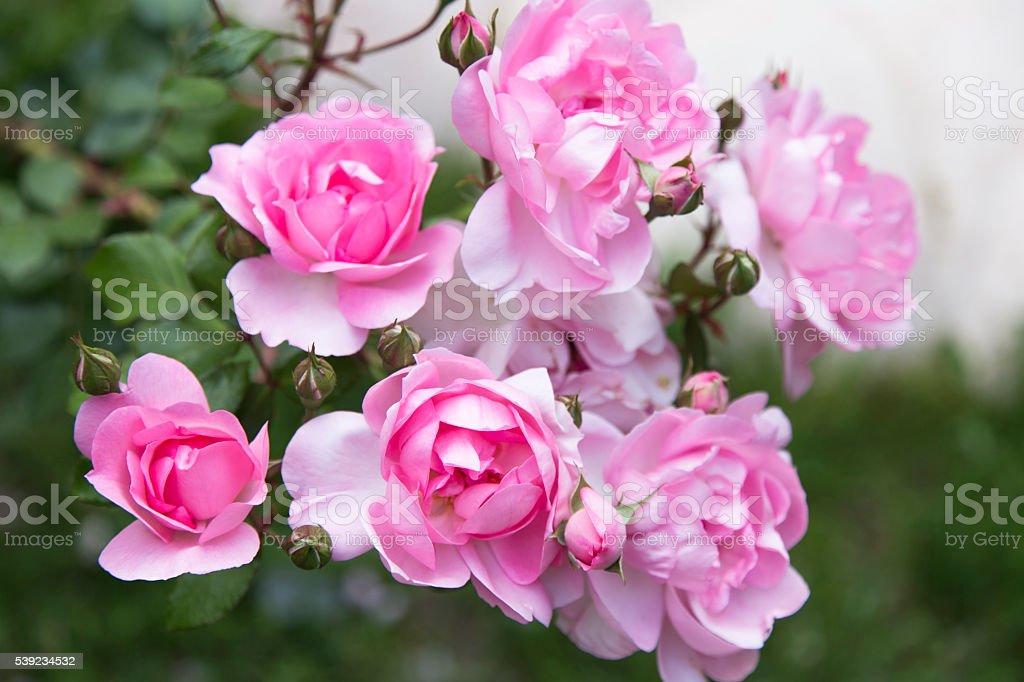 Lindas rosas em um jardim de rosas foto royalty-free