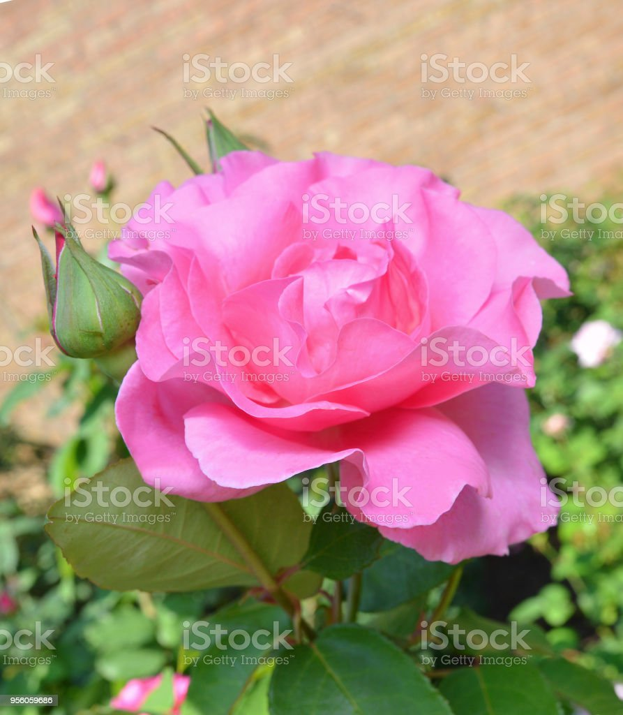 Beautiful pink rose in a garden stock photo