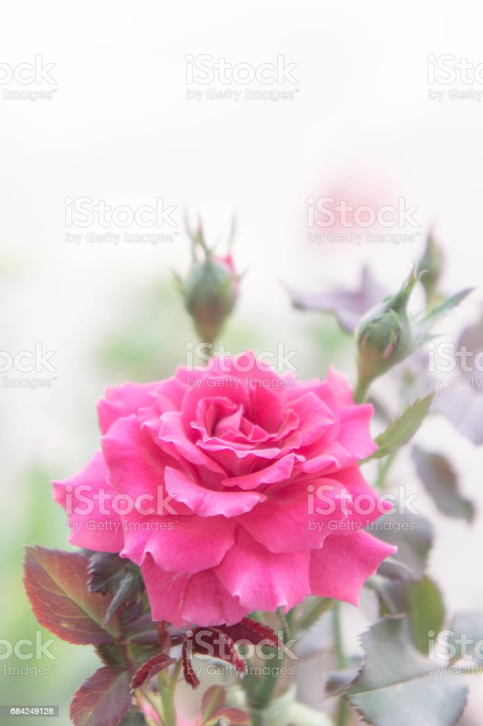 Beautiful pink rose in the garden, pink roses with background blurred royalty-free stock photo