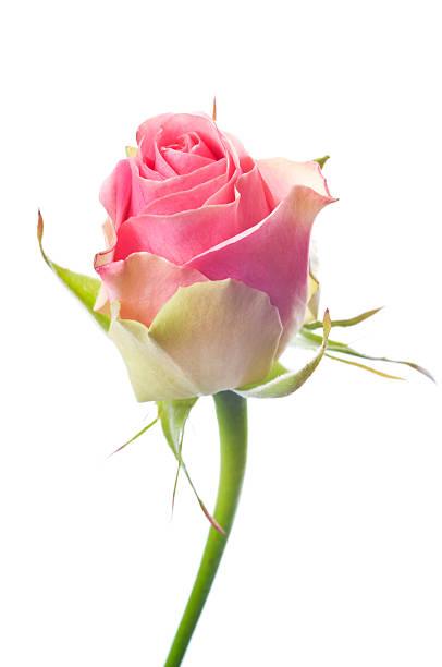 Beautiful pink rose on white picture id157579228?b=1&k=6&m=157579228&s=612x612&w=0&h=kxqlyo03tog6hsjangvbqdgq2bjjr5p3rj6vduyn16a=
