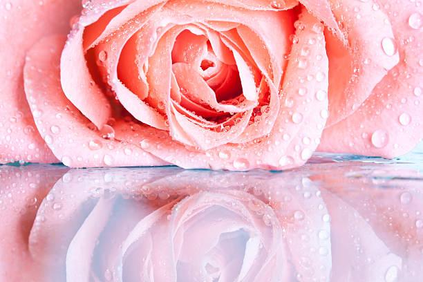 schöne rosa rose - gibt es morgen regen stock-fotos und bilder