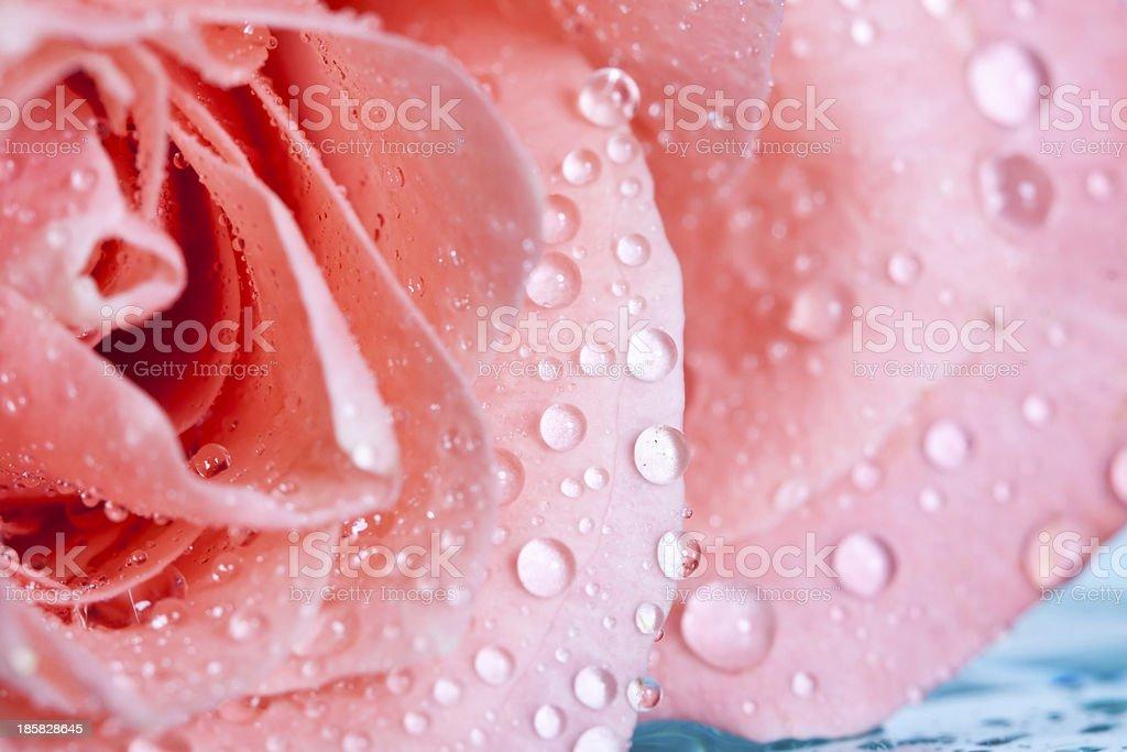 Beautiful pink rose royalty-free stock photo