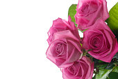 istock Beautiful pink rose 830649592
