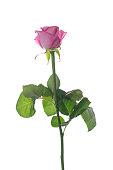 istock Beautiful pink rose 830649610