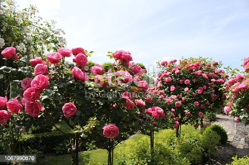 beautiful row of trees with pink flowering roses in the garden with a beautiful blue sky