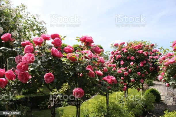 Beautiful pink rose trees in the garden in summer closeup picture id1067990876?b=1&k=6&m=1067990876&s=612x612&h=4hdwxdnrkkpqtyzux6y1viwn5ifwari8xsakiqb9p3y=