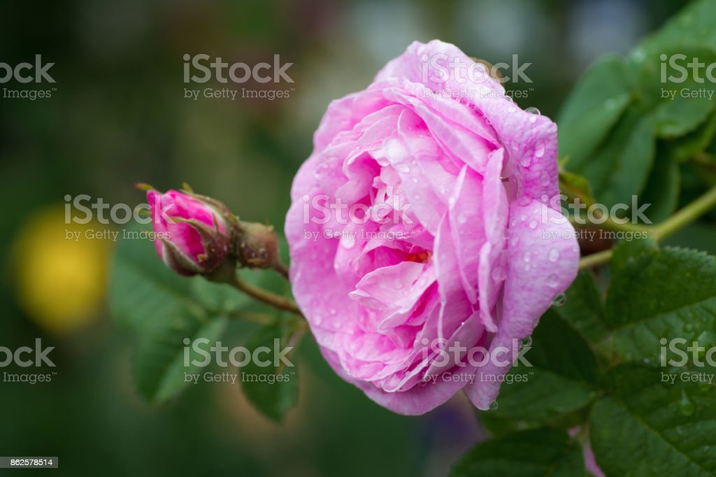 Beautiful pink rose with water droplets after rain in garden stock photo