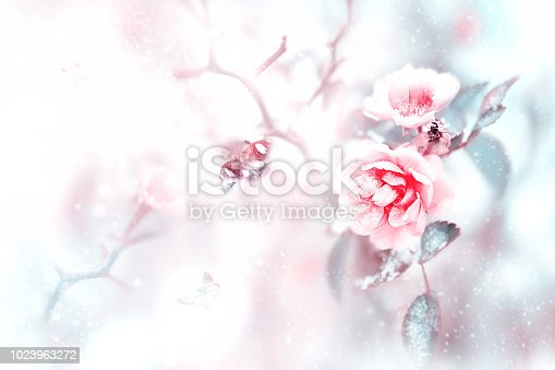 Beautiful pink roses and butterflies in the snow and frost on a blue and pink background. Snowing. Artistic winter natural image. Selective and soft focus.