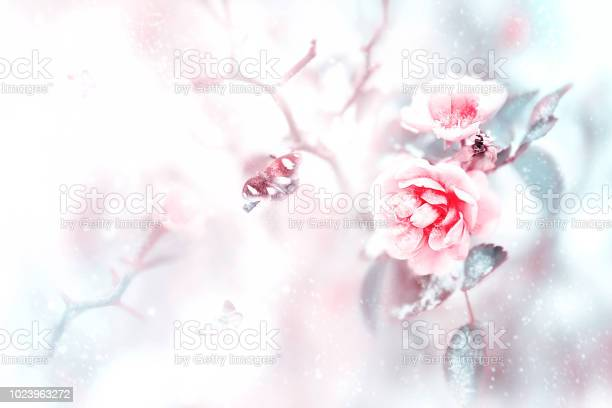 Beautiful pink roses and butterflies in the snow and frost on a blue picture id1023963272?b=1&k=6&m=1023963272&s=612x612&h=5iarkwlzvgq8ikafldx5awqhj3oywyhanxsk zrjy04=