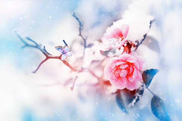 Beautiful pink roses and butterfly in the snow and frost on a blue picture id887209052?b=1&k=6&m=887209052&s=612x612&w=0&h=tk1cknterqndji7yn8tsksppfxqrj0e4 blcxyl4e a=