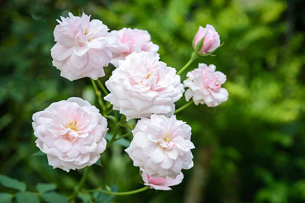 Schöne Rosa Rosen im Garten – Foto