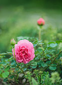 Beautiful Pink Roses Blooming in the Rose Garden