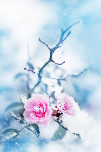 Beautiful pink roses in snow on a blue background snowing artistic picture id884852406?b=1&k=6&m=884852406&s=612x612&w=0&h=awwm3qo8oeqe8 bfhjsl90kxihpdvsanm5y6ygrhe3q=