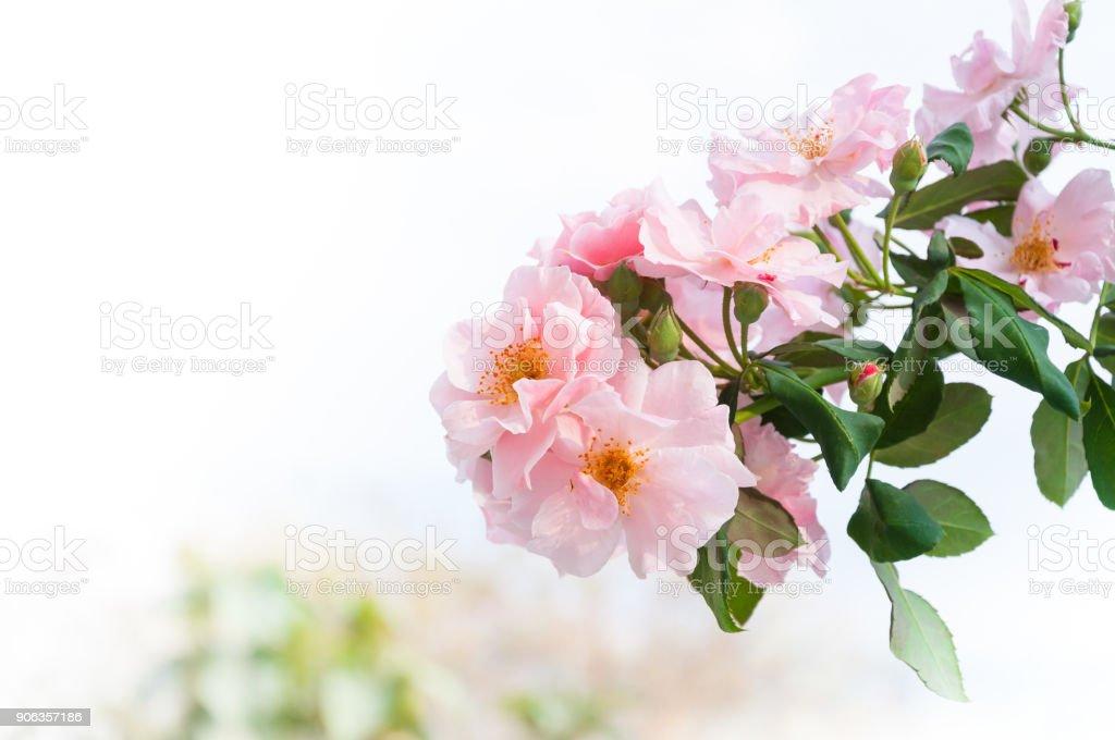 Belles Roses Roses Dans Le Bouquet De Fleurs De Jardin Rose Eustoma ...