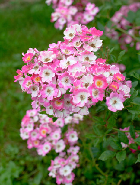 beautiful pink roses beautiful pink roses wild rose stock pictures, royalty-free photos & images