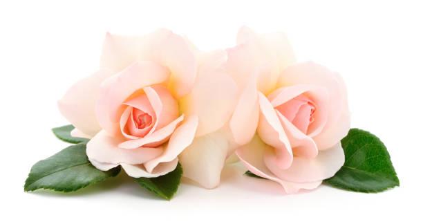 Beautiful pink roses picture id1130345859?b=1&k=6&m=1130345859&s=612x612&w=0&h=dhjbrwsy4lhkvt5dvjekiane16gt3wmphnomjusl6 4=
