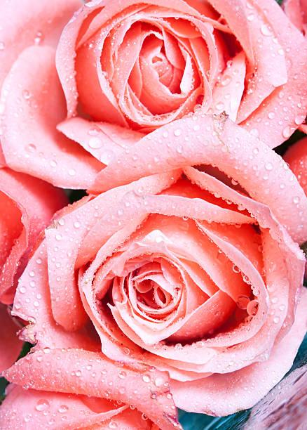 schöne rosa rosen - gibt es morgen regen stock-fotos und bilder