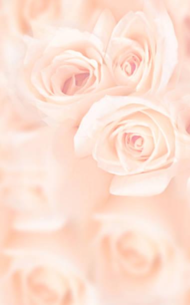 schöne rosa rosen - coral and mauve stock-fotos und bilder