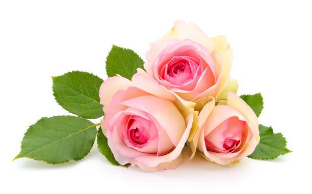 Beautiful pink roses picture id989296878?b=1&k=6&m=989296878&s=612x612&w=0&h=za2eutbit0ljsnr161zmhxeziajzpq1gvto4d0r3t u=