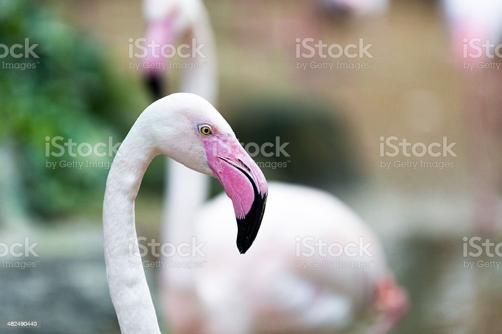 Beautiful pink Rosy Flamingo resting in the water stock photo