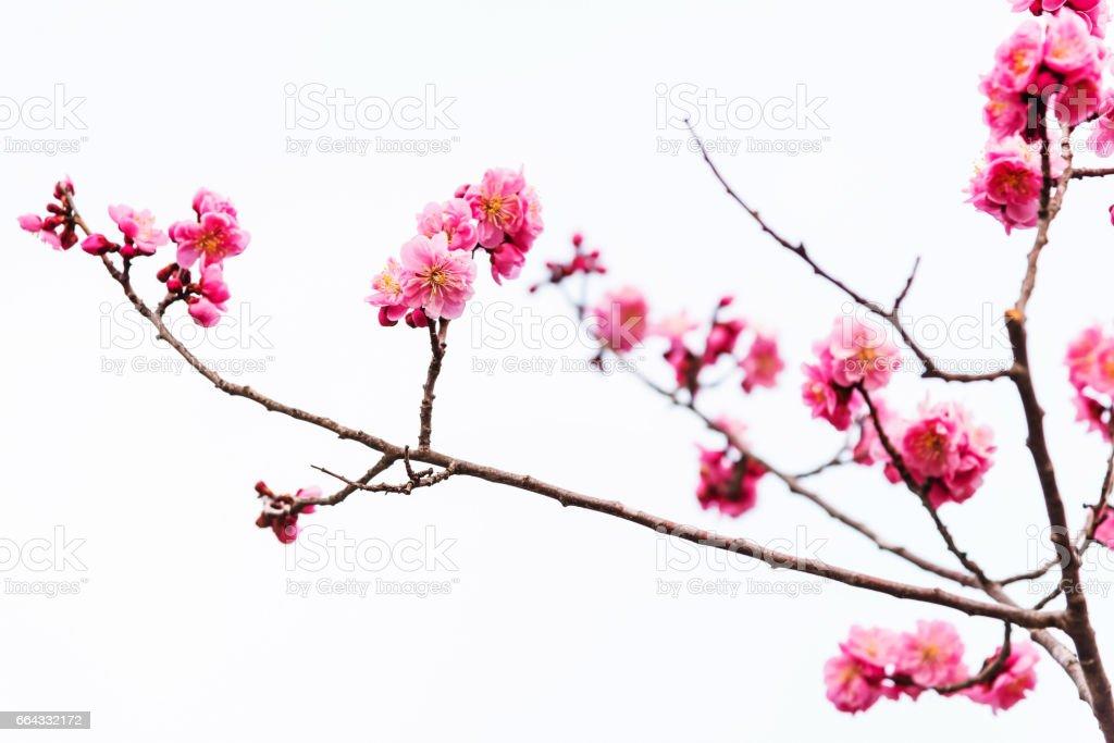 Schöne rosa Sakura Cherry Blossom isoliert – Foto