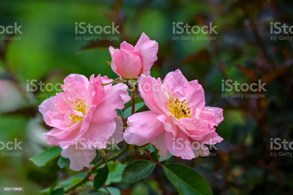 Beautiful Pink Shrub Roses with Yellow Center stock photo